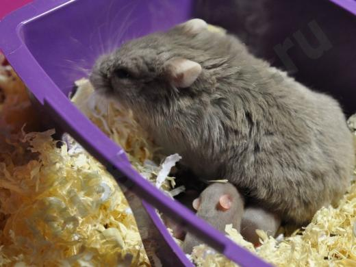 самка джунгарского хомяка кормит своих малышей